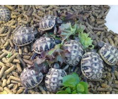 Tortoises for Sale