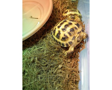 Horsfield Tortoise For Sale