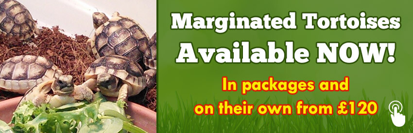 Marginated Tortoises Available NOW!