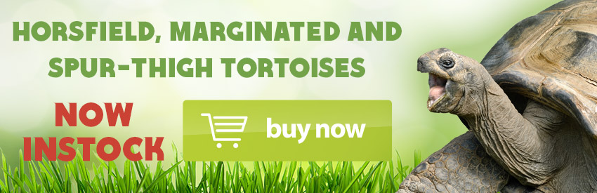 Horsfield, Marginated and Spur-thigh tortoises INSTOCK