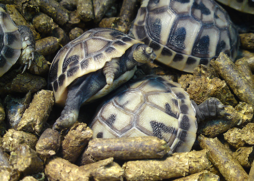 Tortoises in bedding